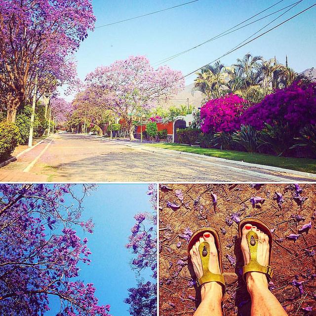 jacaranda_by_darya_mead
